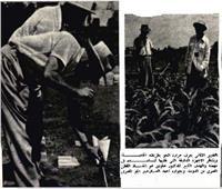 خلال الحرب العالمية.. خبير ألماني ينقذ القطن المصري بعد تحكمه في الجو