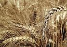 «الفريك» و«المكرونة» يهددان بانخفاض كميات توريد القمح