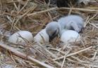 حديقة الحيوان تستقبل ولادات جديدة لطائر العنز الأبيض والأوز الفرعوني