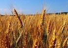 «الزراعة»: ارتفاع المساحات المنزرعة بمحصول القمح لـ 2 مليون فدان