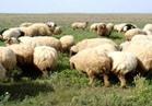 الزراعة: خطة لتنمية الثروة الحيوانية والداجنة وتشجيع الاستثمار
