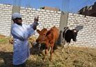 """""""الزراعة"""" حملة تحصين الماشية ضد مرض الحمى القلاعية مستمرة"""