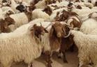 الثروة الحيوانية تعلن أسعار الأضاحي.. 65 جنيهًا للخروف البرقى و 62 جنيهًا للعجول البقري