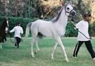«الزراعة» تصدير الدفعة الثالثة من الخيول العربية للاتحاد الأوروبي ..غدا