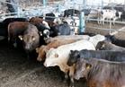 """""""الزراعة"""" تطرح 49 ألف رأس من العجول والأغنام البلدية بأسعار مخفضة"""